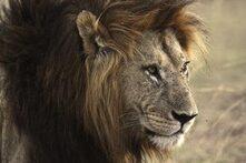 lion-171213_640