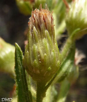 Dittrichia viscosa - inule visqueuse
