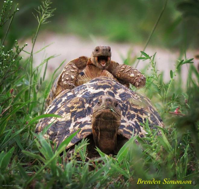 happy tortoise comedy wildlife photography
