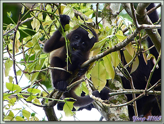Blog de images-du-pays-des-ours : Images du Pays des Ours (et d'ailleurs ...), Singe Hurleur: moi comme un grand - Parc National de Cahuita - Puerto Viejo de Talamanca, Costa Rica
