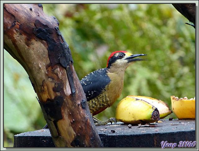 Blog de images-du-pays-des-ours : Images du Pays des Ours (et d'ailleurs ...), Le gourmand Pic de Pucheran, Black-cheeked Woodpecker (Melanerpes pucherani) - Arenal - Costa Rica