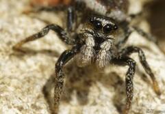Cliquez sur l'image pour voir l'article complet sur cet arachnide.