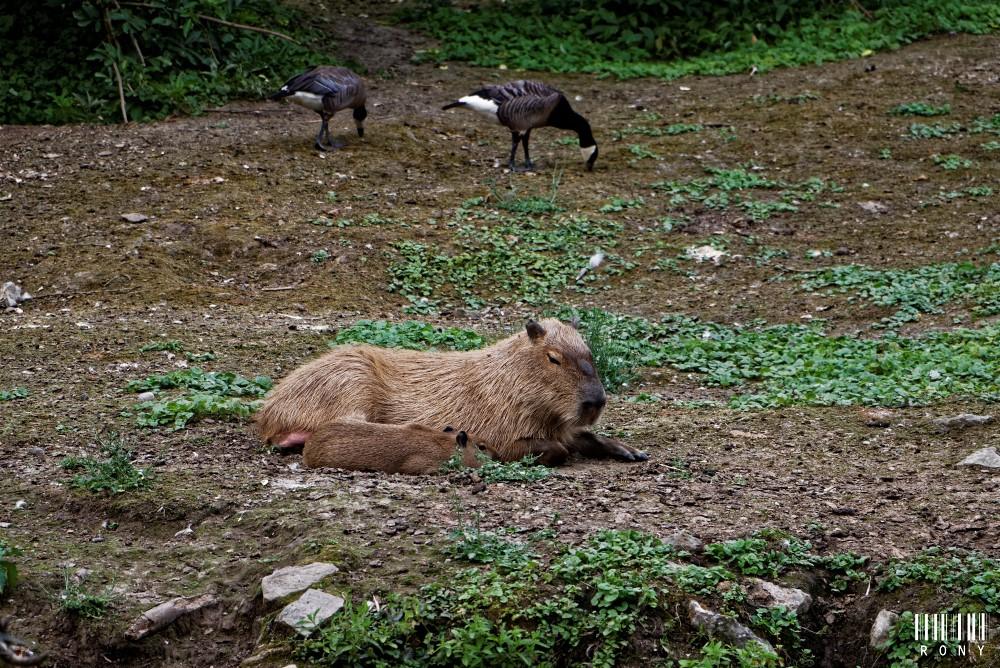 Capybara (Pairi Daiza)