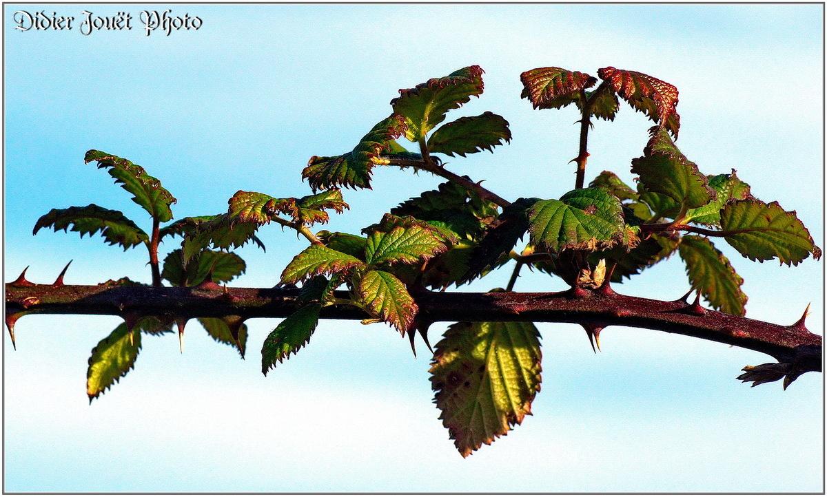 Ronce (2) -  Rubus fruticosus