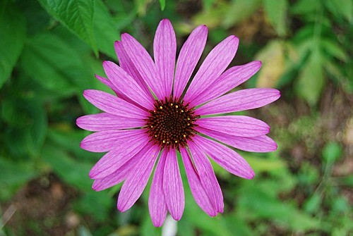 Echinacea-Rubinstein-epanouie.jpg
