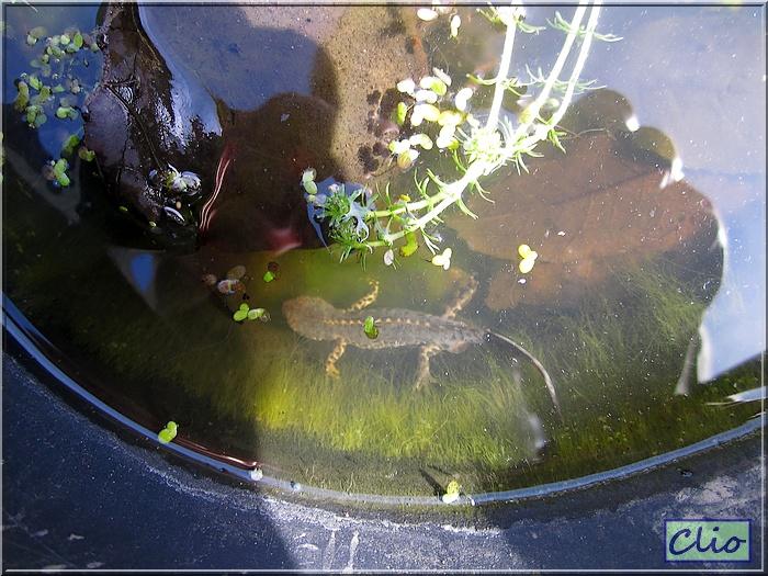 Le point d'eau du jardin et les tritons