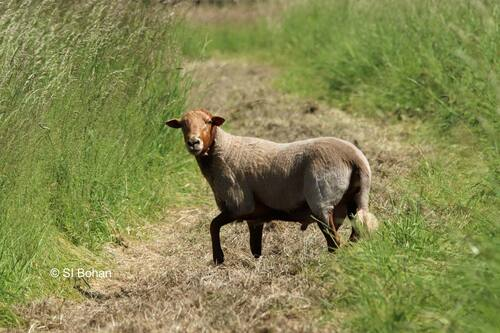 Arrivée des moutons sur l'île de Bohan