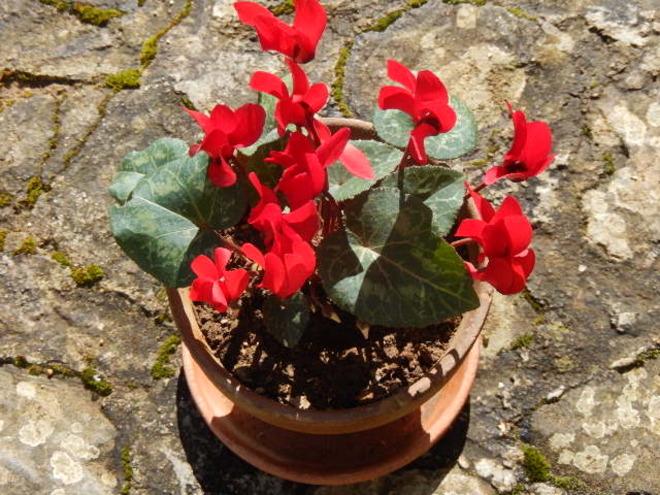 Les secrets d'un bulbe en fleurs le Cyclamen