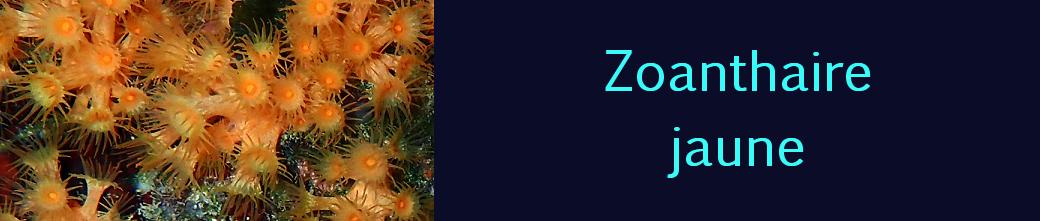 zoanthaire jaune