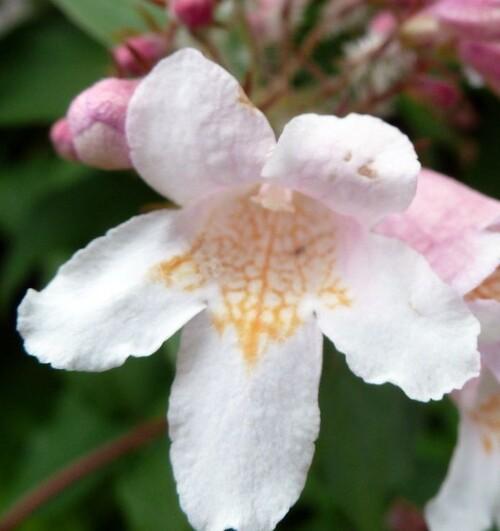 Fleurs cultivées :Kolkwitzia