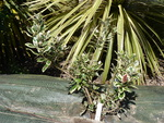 metrosideros kermadecensis 'variegata'