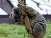 Koala : 4 mai 2016