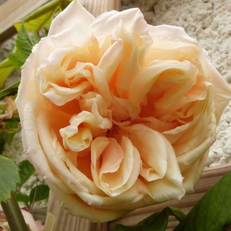Fleur D Avril Le Jardin Du Chat Vert