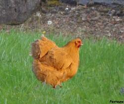 Des poules pour revaloriser les déchets – guide pratique