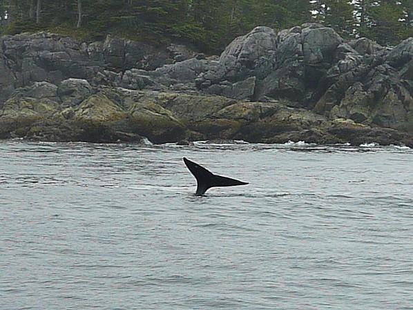 Jour 26 Tofino croisière baleine queue