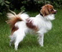 epagneul-nain-phalene-chien