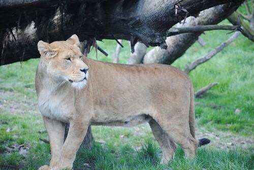 Une lionne....