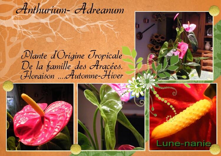 Anthurium Adreanum