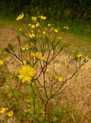 Lapsane commune fleurs