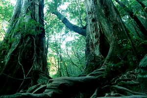 Aokigahara, une forêt maudite - Malédictions
