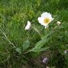 Renoncule amplexicaule (Ranunculus amplexicaulis)