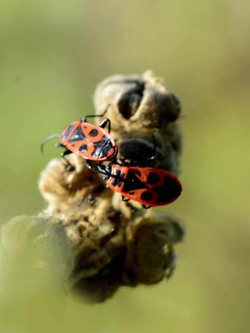 Pyrrhocoris apterus (gendarme, insecte)