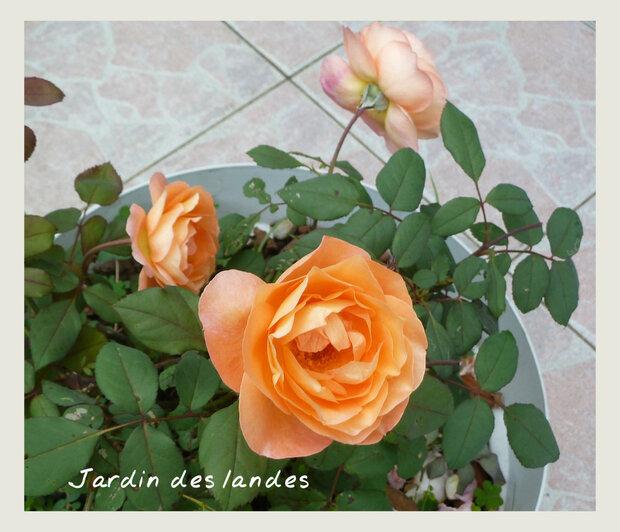 Quelques roses du jardin...Août  2018.