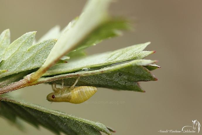 Cicadelle écumeuse