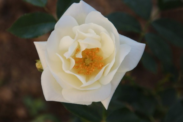 A-rose-is-born 3933