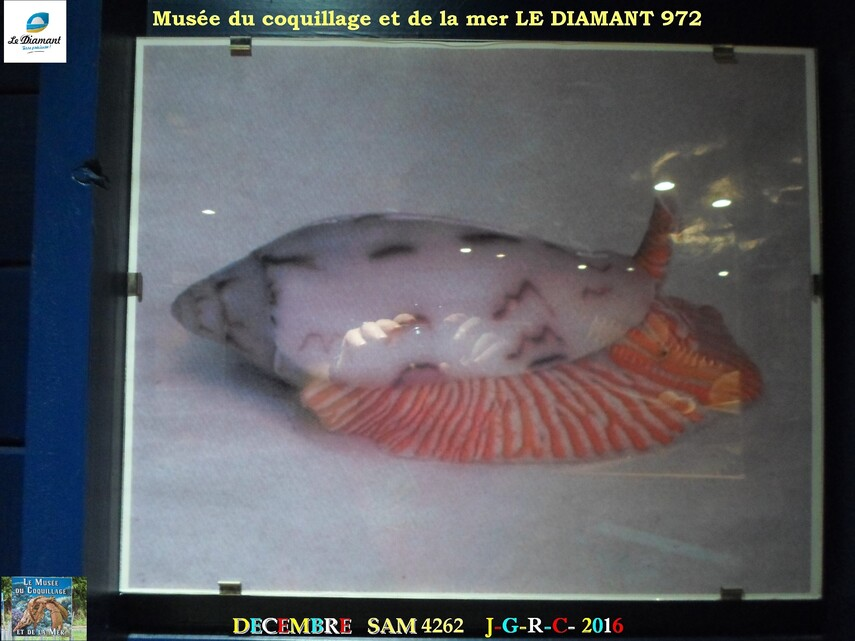 Le monde des coquillages de mer   1/5  21/29    LE DIAMANT MARTINIQUE       D    16/10/2018