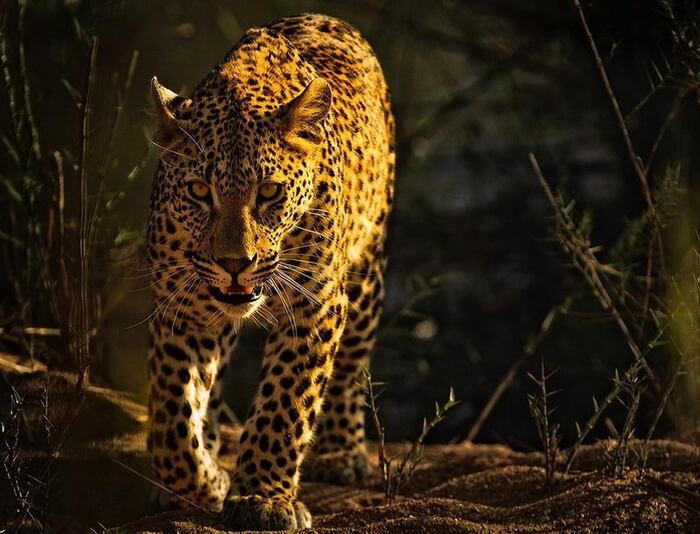 Photographe Animalier Loup Ademei...