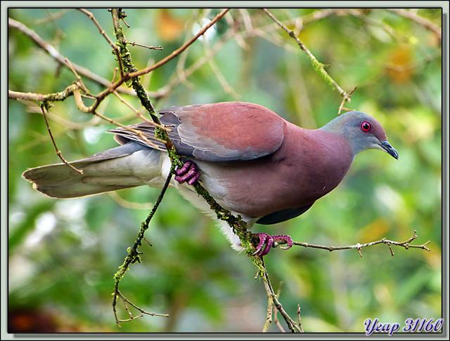 Blog de images-du-pays-des-ours : Images du Pays des Ours (et d'ailleurs ...), Pigeon rousset (Patagioenas cayennensis) - Tortuguero - Costa Rica