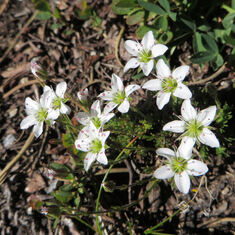 Fleurs de Font-Romeu, début juillet 2015