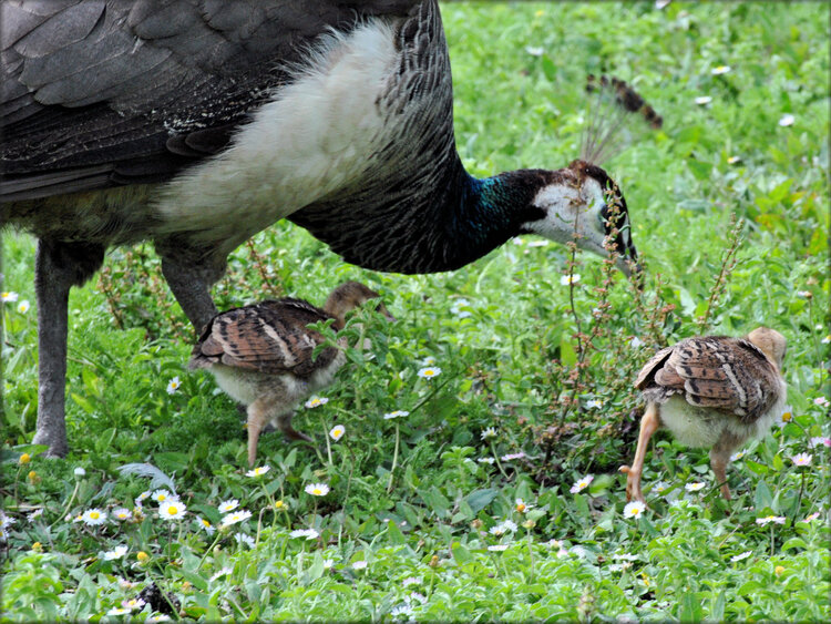 Madame Paon et ses petits - Marais aux Oiseaux