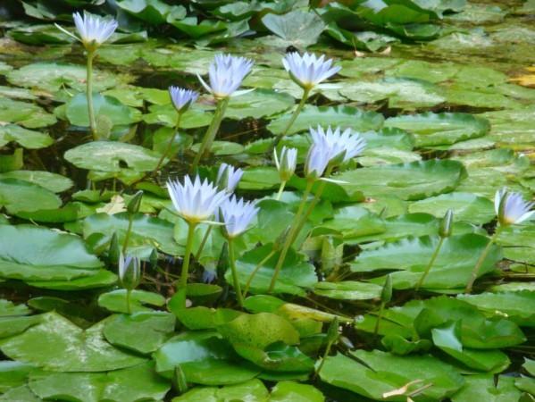 Palerme, Jardin botanique, Nénuphars 1