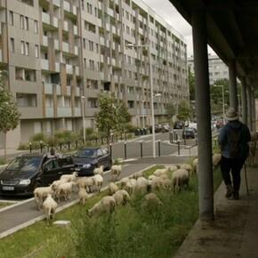 Rencontre du 3ème type entre des moutons et les habitants d'Aubervilliers