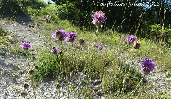 Centaurea scabiosa - centaurée scabieuse