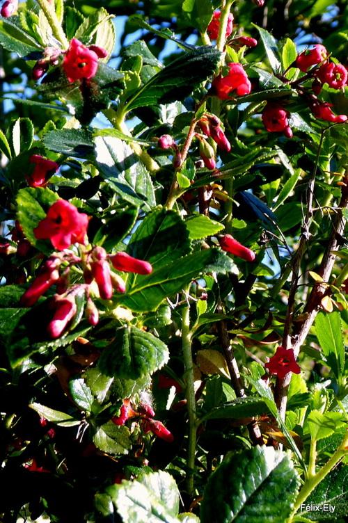 Les fleurs de mon escallonia