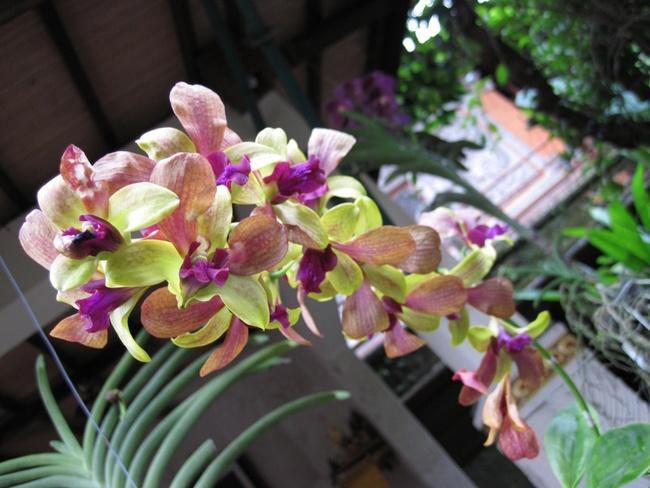 Les orchidées de Bali
