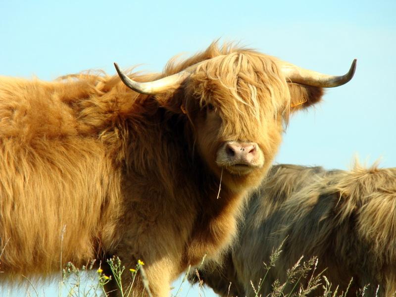 Rencontre vache
