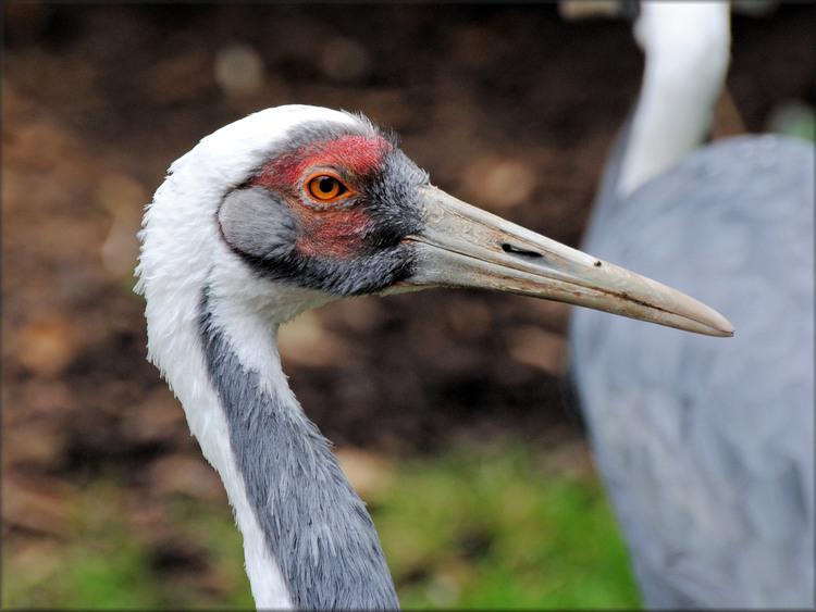 Photo de Grue à coup blanc - Zoo de la Boissière du Doré