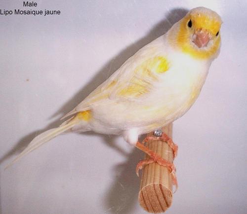 lipomosaique-jaune-.jpg