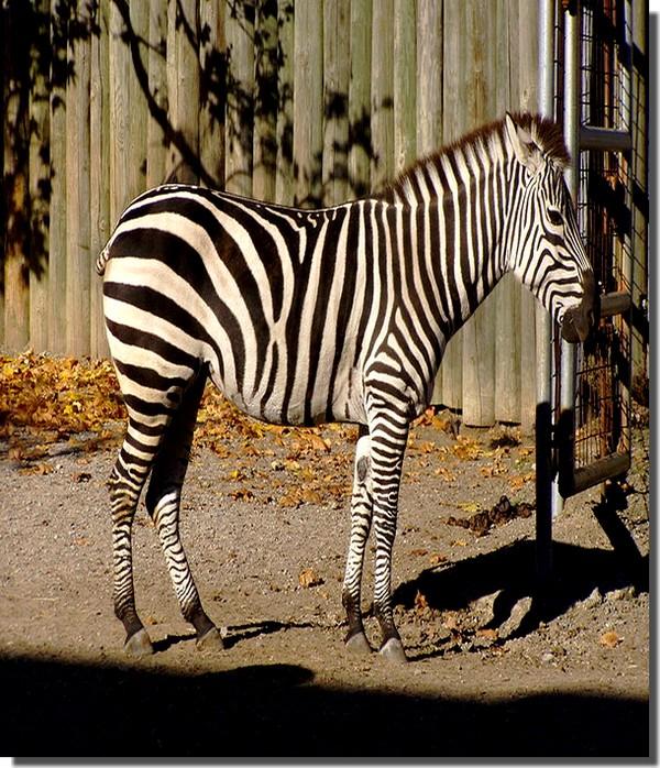 zebre de burchell