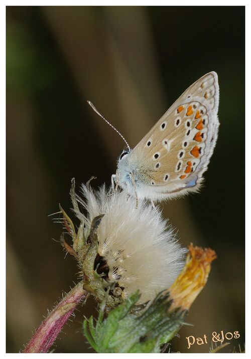 Papillon azure