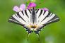 """Résultat de recherche d'images pour """"papillon Flambé"""""""