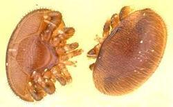 les varroas