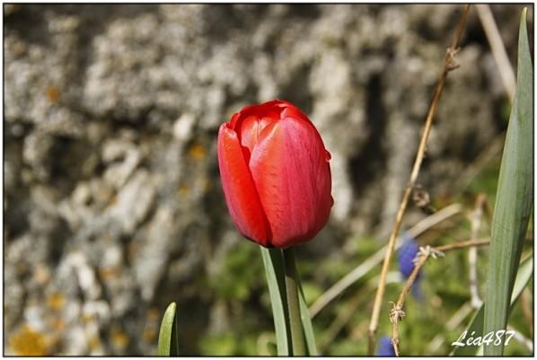 _MG_3940-tulipe-rouge.jpg