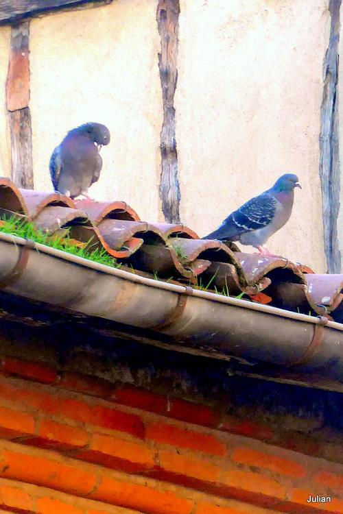 Des pigeons !