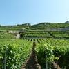 Les vignes en étages de Lavaux