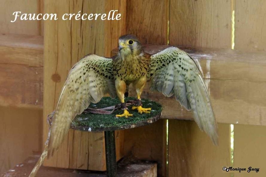 DSC7463-faucon-crécerelle